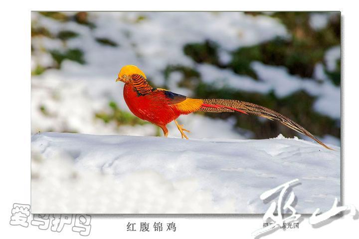 红腹锦鸡.jpg
