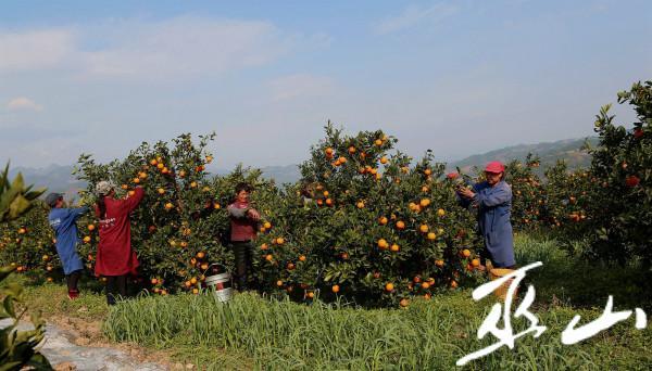 3月11日,在长江三峡境内的巫山县大昌镇兴胜村柑橘果园里,村民们正忙着采摘晚熟柑橘。卢先庆摄7.JPG