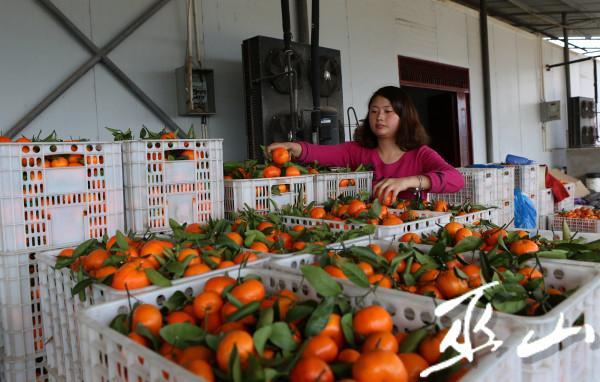 3月11日,在长江三峡境内的巫山县大昌镇兴胜村柑橘果园里,村民们正忙着采摘晚熟柑橘。卢先庆摄8.JPG