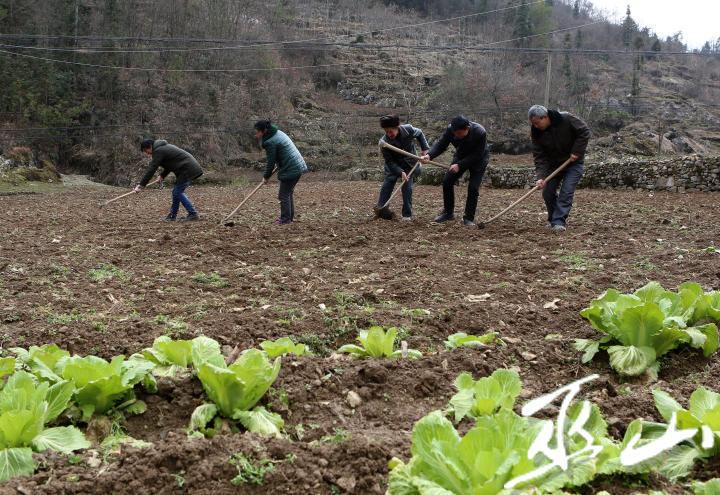 大埡村新發展的綠色蔬菜基地。盧先慶攝.JPG