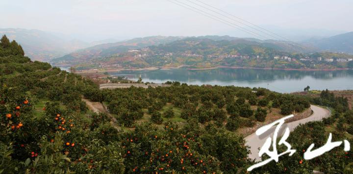 3月11日,在长江三峡境内的巫山县大昌镇兴胜村柑橘果园里,村民们正忙着采摘晚熟柑橘。卢先庆摄9.JPG