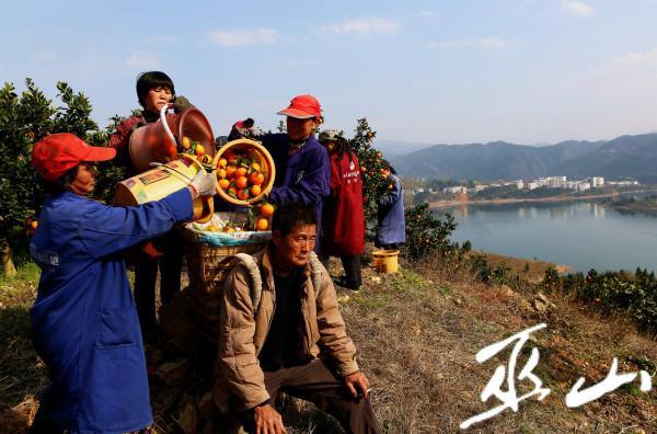 3月11日,在长江三峡境内的巫山县大昌镇兴胜村柑橘果园里,村民们正忙着采摘晚熟柑橘。卢先庆摄2.JPG