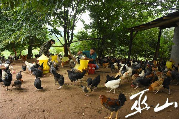 张光平的林下养鸡场。.JPG