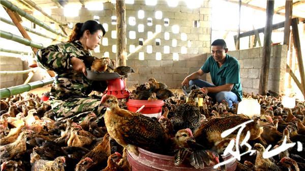 夫妻俩查看小鸡生长情况。.JPG