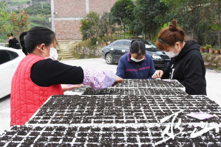 2月10日,巫山县巫峡镇蔬菜大棚育苗基地,人们戴着口罩在放置种子。.JPG