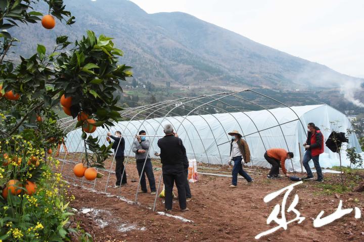 2月10日,巫山县巫峡镇蔬菜大棚育苗基地,人们戴着口罩搭建大棚。.JPG